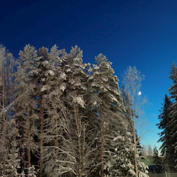 Wintery scene with trees filled with snow and the moon in the background on a blue sky.
